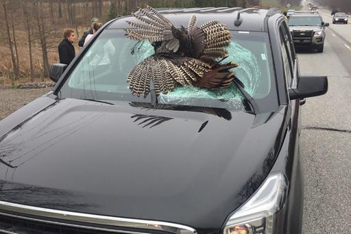 Fowl! 30-Pound Turkey Hits SUV